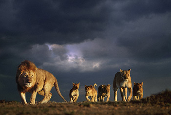 Lion Family and Stormy Sky, Kenya