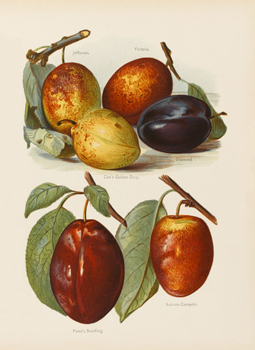 Six Varieties of Plum