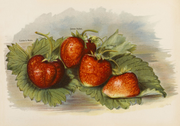 Four Varieties of Strawberry