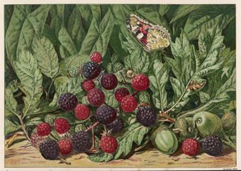 Blackberries with Butterfly