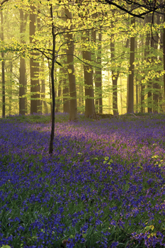 Light diffusing through the Trees in Bluebell Wood