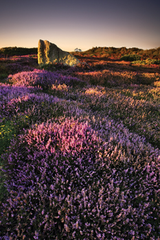 Amongst the Heather - Land's End