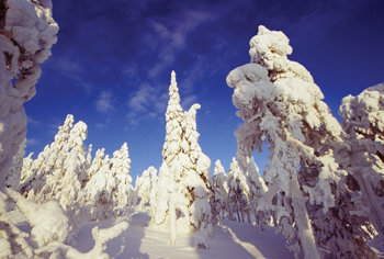 Snow-laden Trees on Ruka Fell, Finland