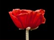 Papaver Orientale - Red Poppy