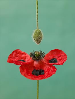 Red Poppy on Teal