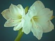 White Amaryllis on Blue