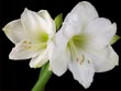 White Amaryllis on Black