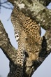 Leopard climbing down Tree