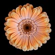 Single Orange Gerbera on Black