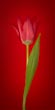 Single Red Tulip on Red