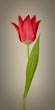 Single Red Tulip on Beige