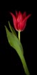 Single Red Tulip on Black