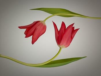 Two Red Tulips on Beige/Grey