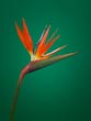 Orange Strelitzia on Green
