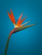 Orange Strelitzia on Blue