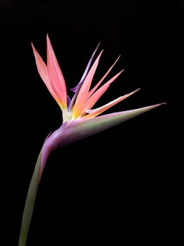 Pink Strelitzia on Black