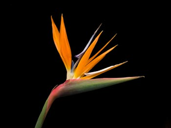 Orange Strelitzia on Black