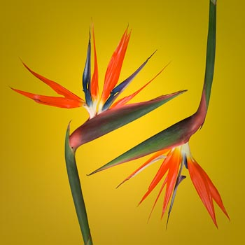 Two Strelitzia on Antique Gold