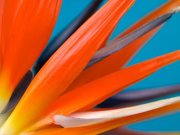 Strelitzia - Close-up