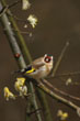 European Goldfinch (2)