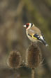 European Goldfinch (3)