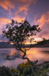 Wind-bent Hawthorn and Lough Feeagh at Sunset