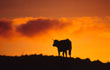 Cow silhouetted at Dawn, Connemara, Co. Galway, Ireland