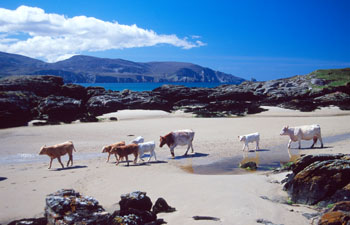 Cows crossing the beach at Rosberg, Co. Donegal
