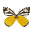 Yellow Jezebel Butterfly