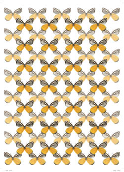 Yellow Jezebel Butterfly Wallpaper