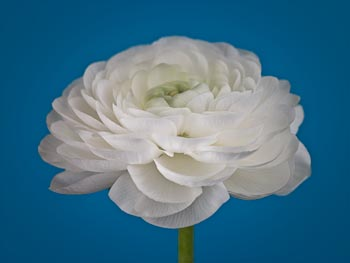 White Ranunculus on Turquoise Blue