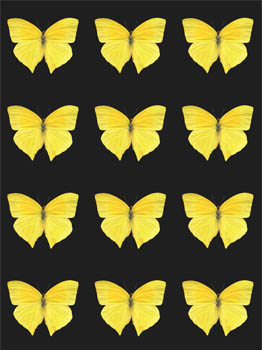Sulphur Butterfly Wallpaper