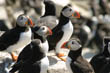 Puffins at Farne Islands, Northumberland