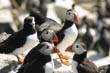 Puffins at Farne Islands, Northumberland (2)