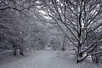Pathway through Snowy Trees, near Wylam, Northumberland (2)