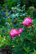 Early Summer Border with Pink Peonies/Paeonia