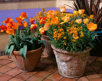 Terracotta Pots planted with Phormium, Tulips and Wallflowers