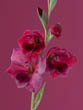 Pink-Red Flowers of Gladiolus Papilio 'Ruby'