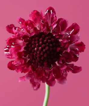 Scabiosa Chilli Pepper
