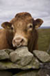 Cow at Hadrians Wall, Northumberland