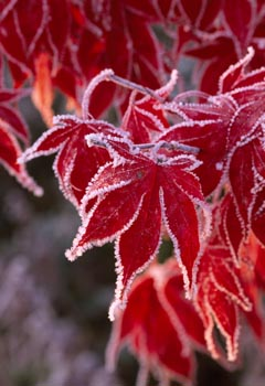 Frosty Leaf of Acer Palmatum 'Bloodgood'