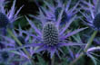 Eryngium Jos Eijking - Sea Holly