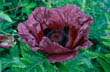 Poppy - Papaver Orientale - Patty's Plum