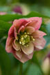 Helleborus X Harvington 'Double Apricot 2005 Selection'