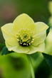 Helleborus X Hybridus Harvington Yellow