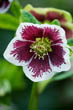 Helleborus X Hybridus Harvington White with Maroon Flare
