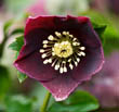 Helleborus X Hybridus Harvington Selection 'Hilliers Dusky'
