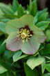 Helleborus X Hybridus Green Form with Dark Nectarines