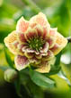 Helleborus X Hybridus Harvington Yellow Double Spotted