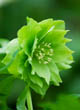 Helleborus X Hybridus Harvington Double Green (2)
